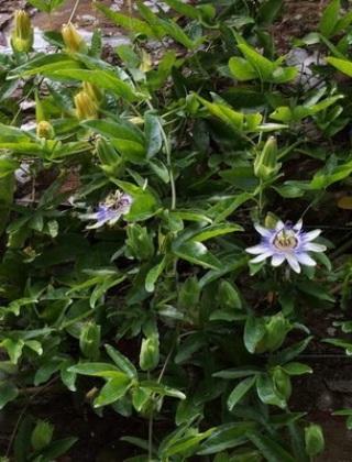 komnatnye-tsvety-pasiflora-vidy-i-sorta-tsvetov-vyrashhivanie-i-uhod-za-rasteniem-foto-domashnej-pasiflory-44