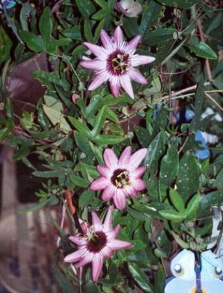 komnatnye-tsvety-pasiflora-vidy-i-sorta-tsvetov-vyrashhivanie-i-uhod-za-rasteniem-foto-domashnej-pasiflory-46