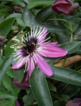 komnatnye-tsvety-pasiflora-vidy-i-sorta-tsvetov-vyrashhivanie-i-uhod-za-rasteniem-foto-domashnej-pasiflory-47
