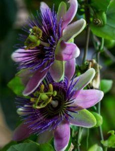 komnatnye-tsvety-pasiflora-vidy-i-sorta-tsvetov-vyrashhivanie-i-uhod-za-rasteniem-foto-domashnej-pasiflory-5