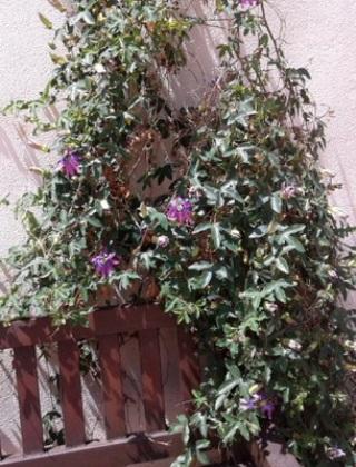 komnatnye-tsvety-pasiflora-vidy-i-sorta-tsvetov-vyrashhivanie-i-uhod-za-rasteniem-foto-domashnej-pasiflory-50