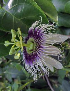 komnatnye-tsvety-pasiflora-vidy-i-sorta-tsvetov-vyrashhivanie-i-uhod-za-rasteniem-foto-domashnej-pasiflory-6