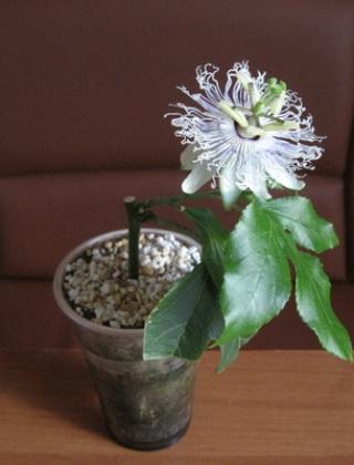 komnatnye-tsvety-pasiflora-vidy-i-sorta-tsvetov-vyrashhivanie-i-uhod-za-rasteniem-foto-domashnej-pasiflory-63