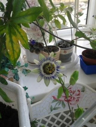 komnatnye-tsvety-pasiflora-vidy-i-sorta-tsvetov-vyrashhivanie-i-uhod-za-rasteniem-foto-domashnej-pasiflory-68