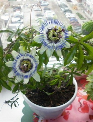 komnatnye-tsvety-pasiflora-vidy-i-sorta-tsvetov-vyrashhivanie-i-uhod-za-rasteniem-foto-domashnej-pasiflory-69