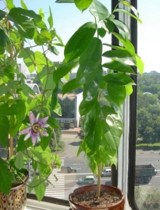 komnatnye-tsvety-pasiflora-vidy-i-sorta-tsvetov-vyrashhivanie-i-uhod-za-rasteniem-foto-domashnej-pasiflory-70