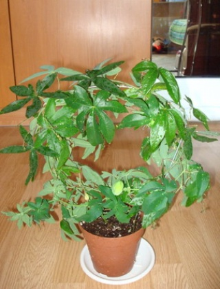 komnatnye-tsvety-pasiflora-vidy-i-sorta-tsvetov-vyrashhivanie-i-uhod-za-rasteniem-foto-domashnej-pasiflory-74