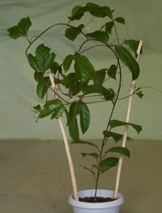 komnatnye-tsvety-pasiflora-vidy-i-sorta-tsvetov-vyrashhivanie-i-uhod-za-rasteniem-foto-domashnej-pasiflory-78