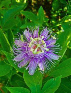 komnatnye-tsvety-pasiflora-vidy-i-sorta-tsvetov-vyrashhivanie-i-uhod-za-rasteniem-foto-domashnej-pasiflory-8