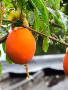 komnatnye-tsvety-pasiflora-vidy-i-sorta-tsvetov-vyrashhivanie-i-uhod-za-rasteniem-foto-domashnej-pasiflory-plodovaya-22