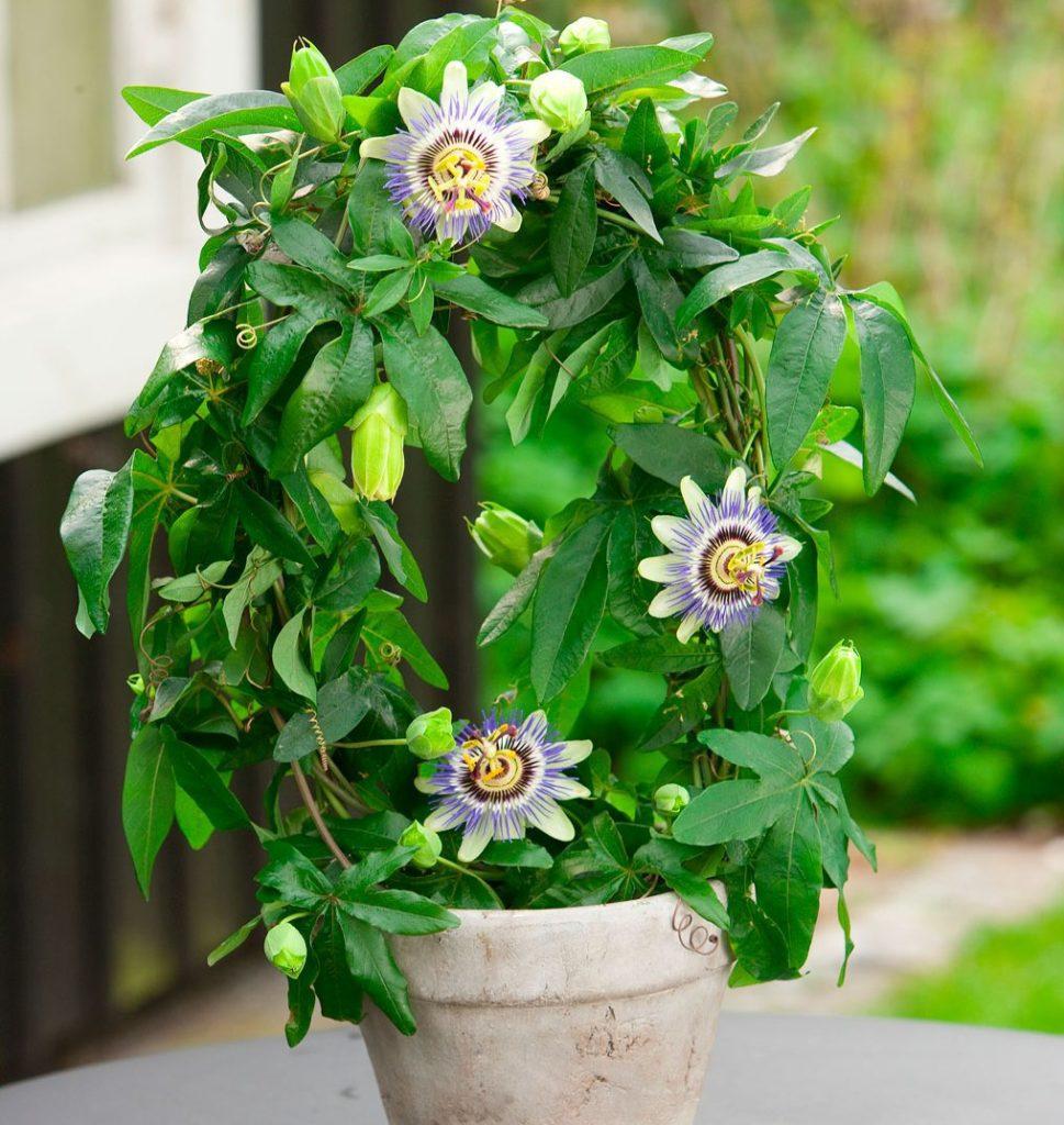 tsvety-passiflora-vidy-i-sorta-tsvetov-vyrashhivanie-i-uhod-foto-domashnej-pasiflory-goluboj