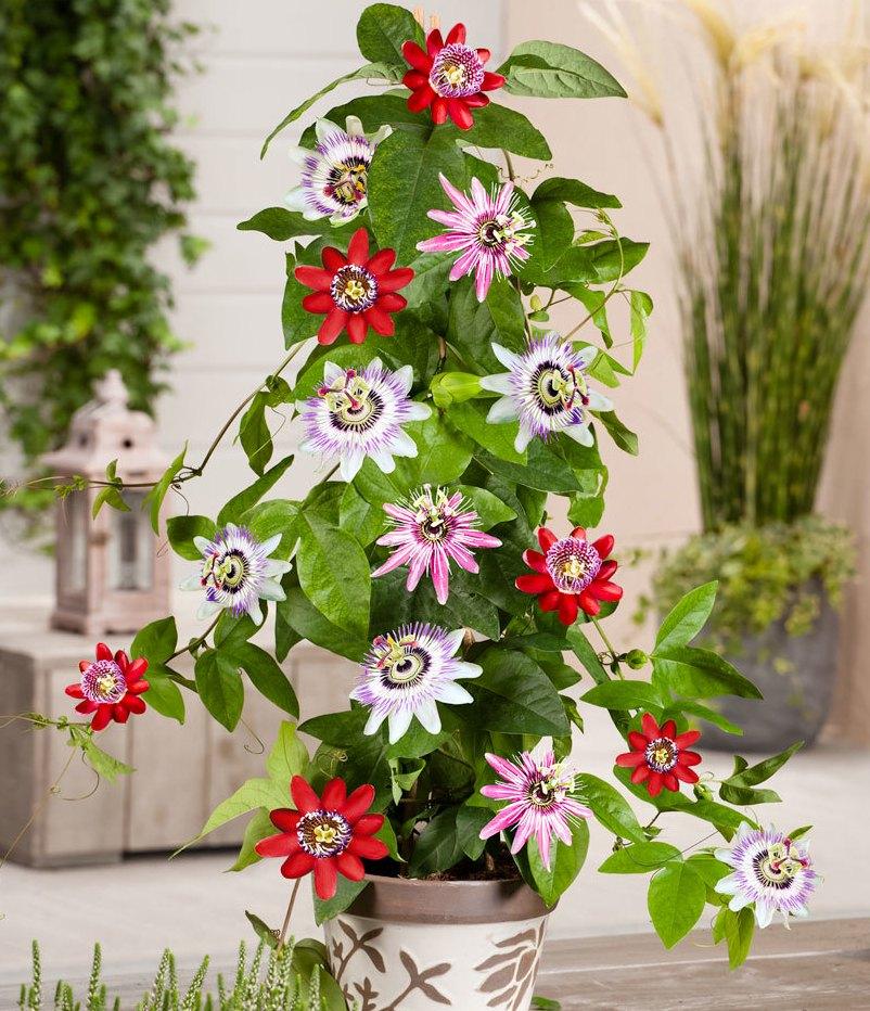 tsvety-passiflora-vidy-i-sorta-tsvetov-vyrashhivanie-i-uhod-foto-domashnej-pasiflory