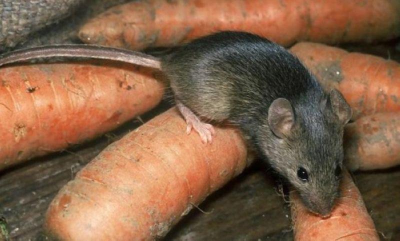 krysa-vreditel