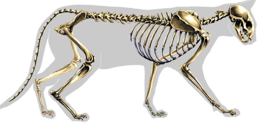Test-ugadaj-zhivotnoe-po-ego-skeletu-9-vidov-izvestnyh-zhivotnyh-foto-koshka...