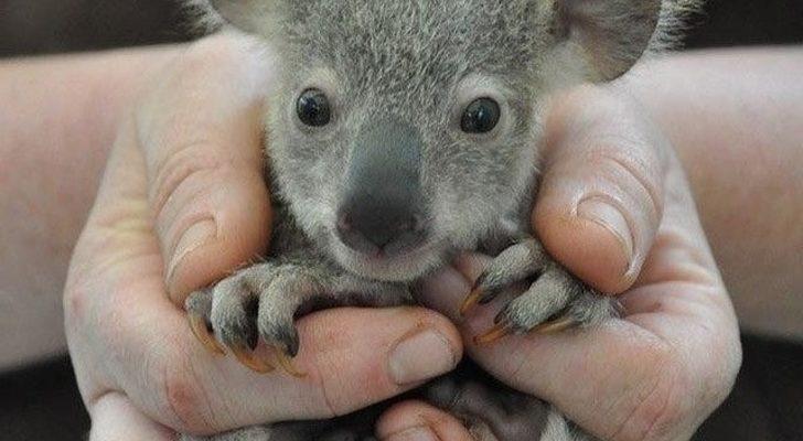Test-ugadaj-zhivotnyh-po-ih-malysham-detenysham-Koala