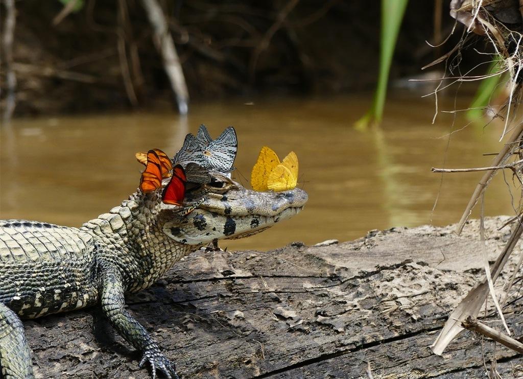 foto-zametki-babochki-na-golove-hishhnika-kajmana-fotograf-Mark-Kouen-Amazonka