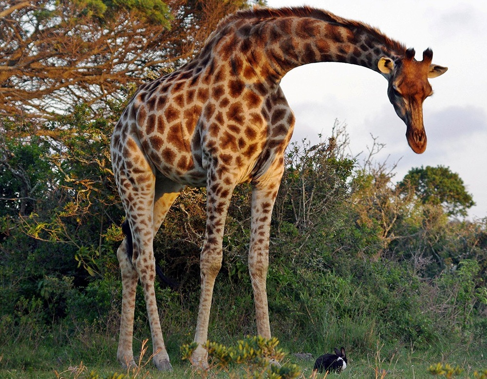 foto-zametki-druzhba-zhirafa-i-krolika-YUAR-safari-park-2016-god