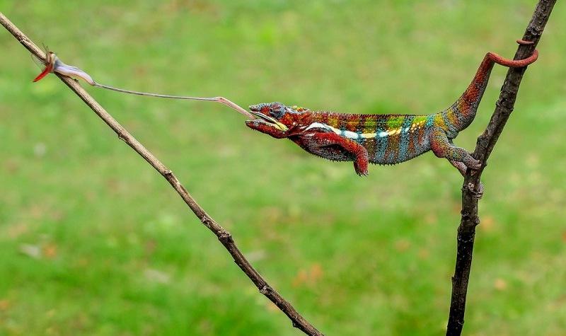 foto-zametki-hameleon-na-ohote