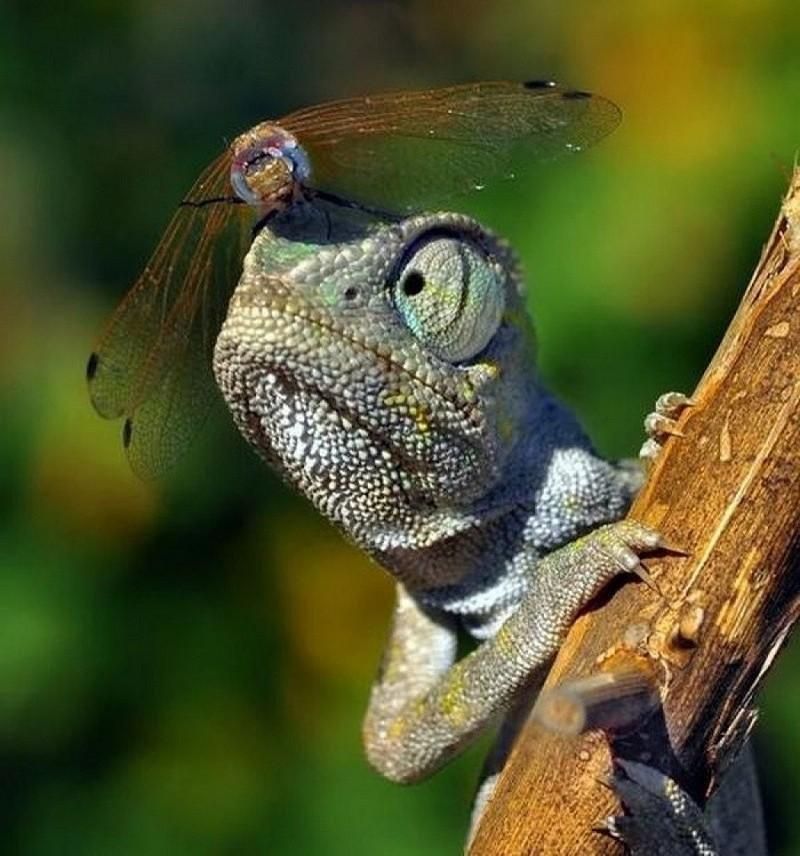 foto-zametki-strekoza-na-golove-hameleona