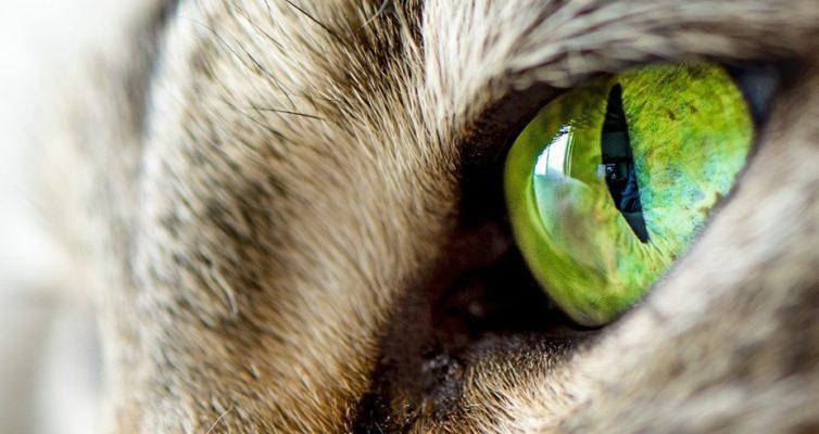 neobychnye-testy-ugadajte-vid-zhivotnogo-po-ego-glazam-15-vidov-na-foto-zelenyj-glaz-koshki