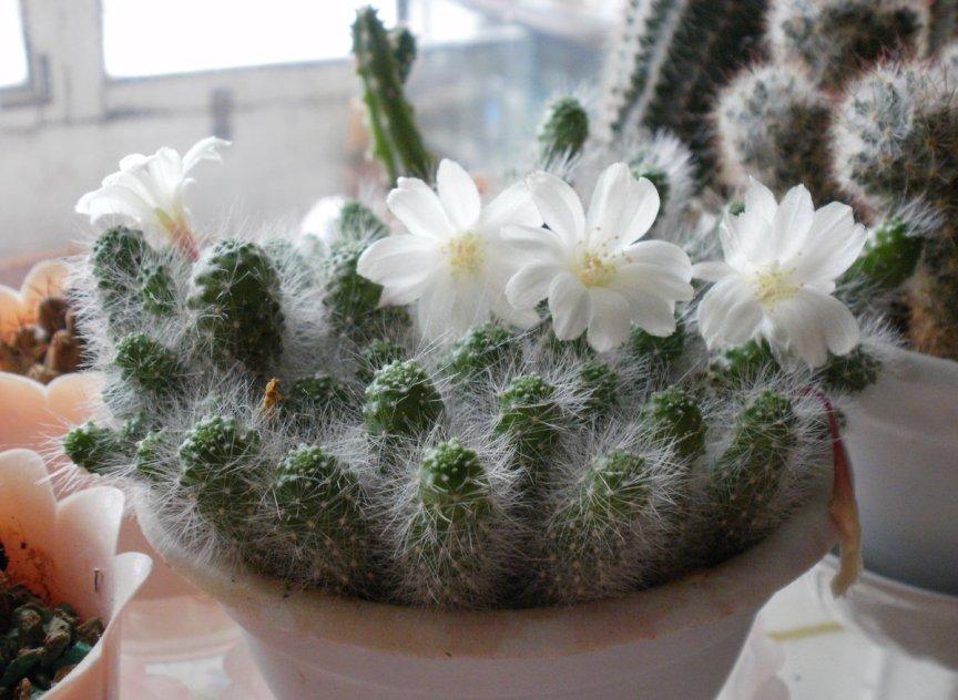 primety-i-sueveriya-o-komnatnyh-tsvetah-kaktus-pochemu-nezhelatelno-nezamuzhnej-ne-derzhat-kaktus-i-drugie-primety...