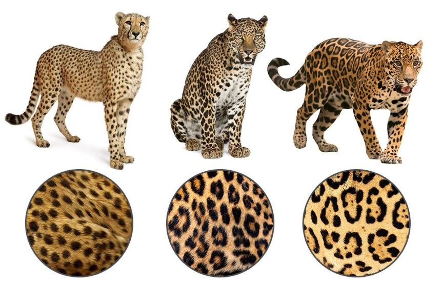 Test-o-zhivotnyh-smozhete-li-vy-ugadat-chto-eto-za-zhivotnoe-sredi-pohozhih-na-nego-foto-Gepard-Leopard-i-YAguar