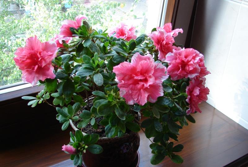 narodnye-primety-i-poverya-ob-Azalii-rododendrone-foto-komnatnye-tsvety-Azaliya-rododendron