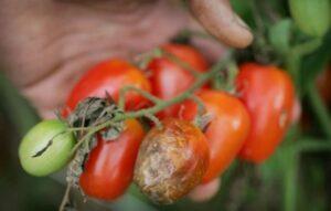 fitoftoroz-na-pomidorah-luchshie-sredstva-i-sposoby-po-ustraneniyu-fitoftory-s-tomatov-foto-fitoftora-na-plodah
