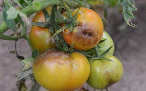 fitoftoroz-na-pomidorah-luchshie-sredstva-i-sposoby-po-ustraneniyu-fitoftory-s-tomatov-foto-fitoftora-tomatov