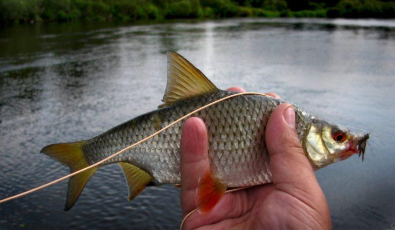 zametki-rybaka-osobennosti-lovli-plotvy-foto-ryba-plotva-rybalka-letom