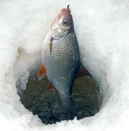 zametki-rybaka-osobennosti-lovli-plotvy-foto-ryba-plotva-zimnyaya-rybalka...