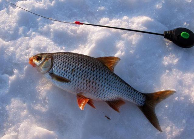 zametki-rybaka-osobennosti-lovli-plotvy-foto-ryba-plotva-zimnyaya-rybalka
