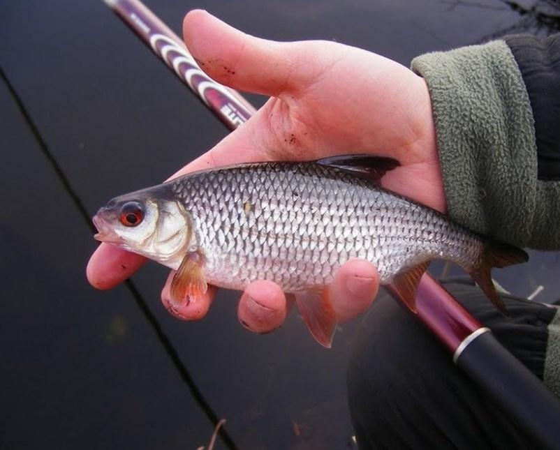 zametki-rybaka-osobennosti-lovli-plotvy-vesnoj-letom-osenyu-i-zimoj-foto-ryba-plotva