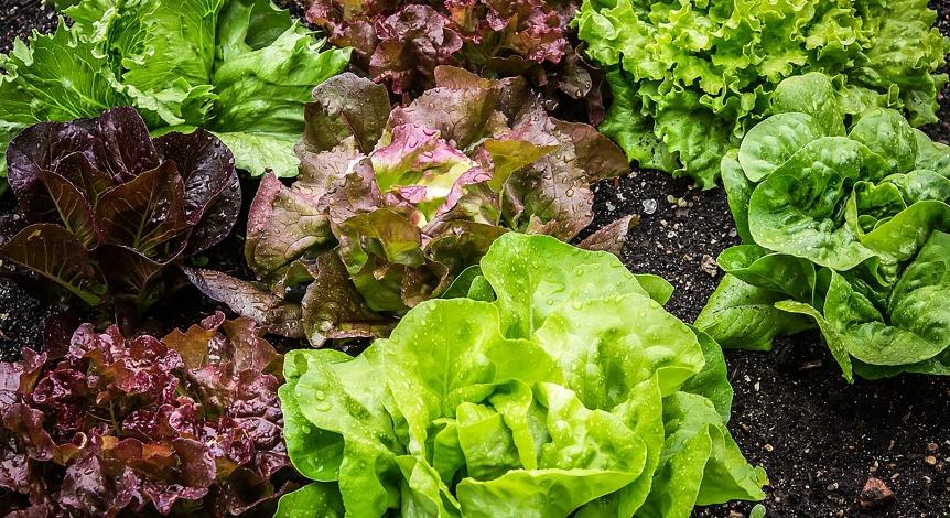 kak-vyrashhivat-listovoj-salat-pravila-vyrashhivaniya-i-uhoda-foto-listovoj-salat