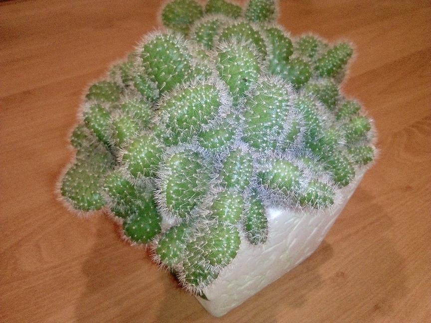 kak-vyrashhivat-mini-kaktus-usloviya-poliva-i-vyrashhivaniya-foto-2-mini-kaktus