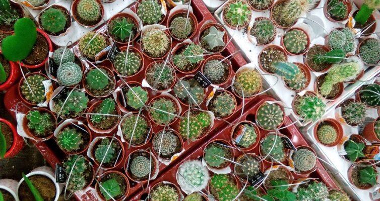 kak-vyrashhivat-mini-kaktus-usloviya-poliva-i-vyrashhivaniya-foto-mini-kaktus