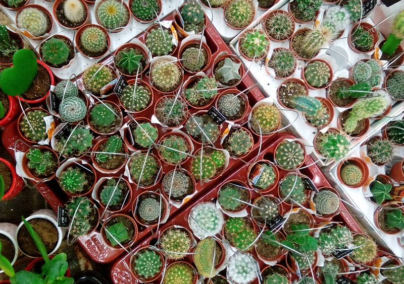 kak-vyrashhivat-mini-kaktus-usloviya-poliva-i-vyrashhivaniya-foto-nastoyashhie-mini-kaktusy