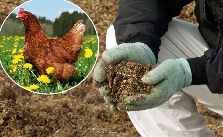 Куриный помет: приготовление удобрения и особенности использования