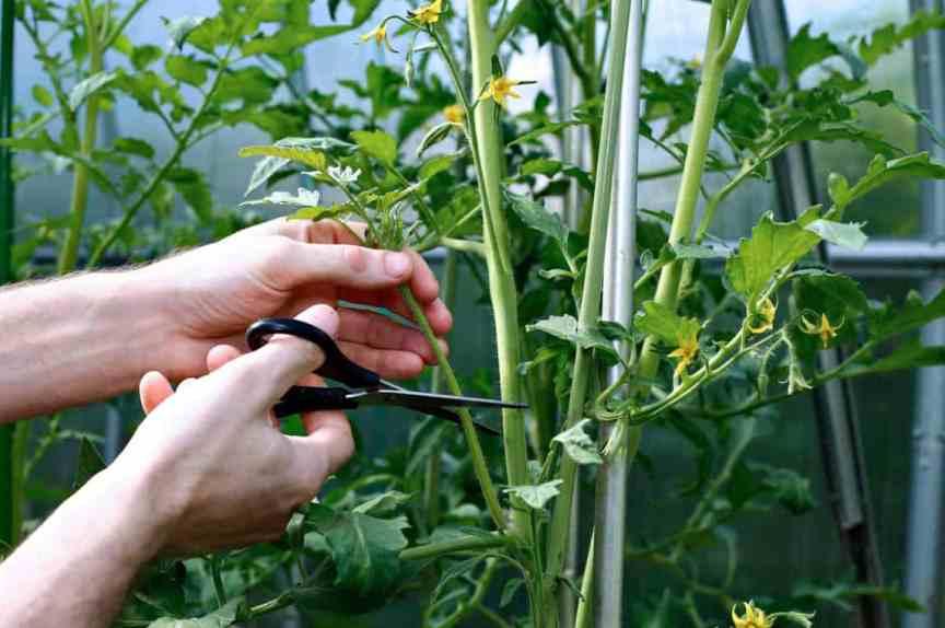 kak-obryvat-listya-u-tomatov-pomidor-i-pochemu-eto-nuzhno-obyazatelno-delat-foto-obrezka-listev-u-tomatov