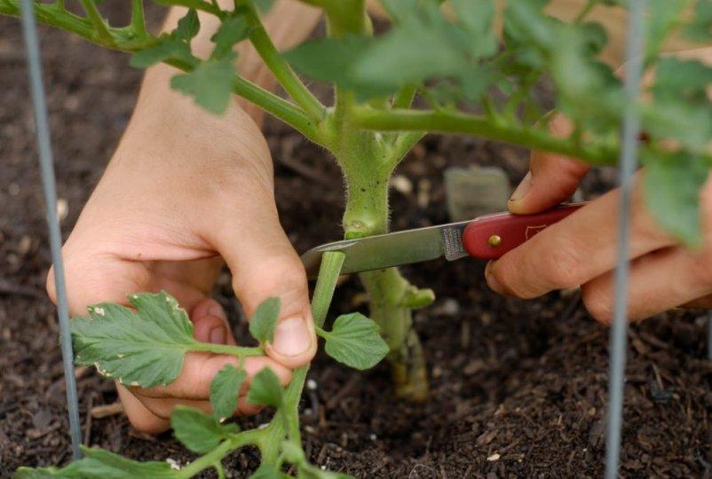 kak-obryvat-listya-u-tomatov-pomidor-i-pochemu-eto-nuzhno-obyazatelno-delat-foto-obrezka-nizhnih-listev-u-tomatov