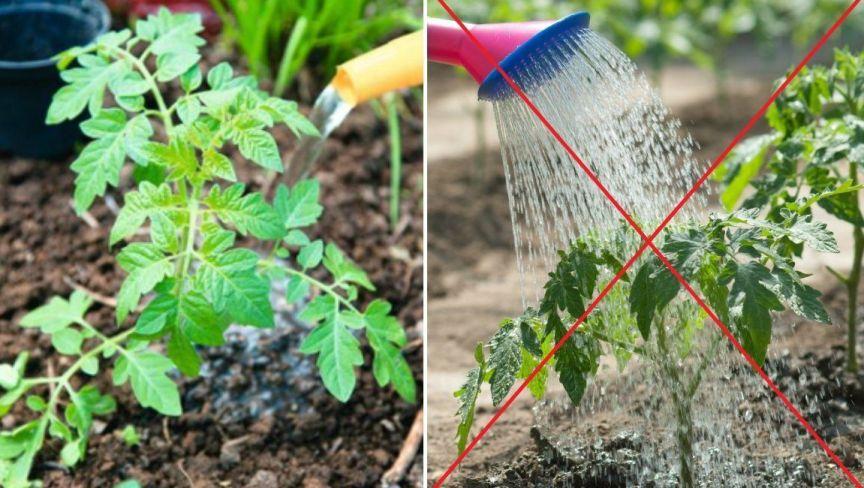 kak-obryvat-listya-u-tomatov-pomidor-i-pochemu-eto-nuzhno-obyazatelno-delat-foto-pravilnyj-poliv-tomatov