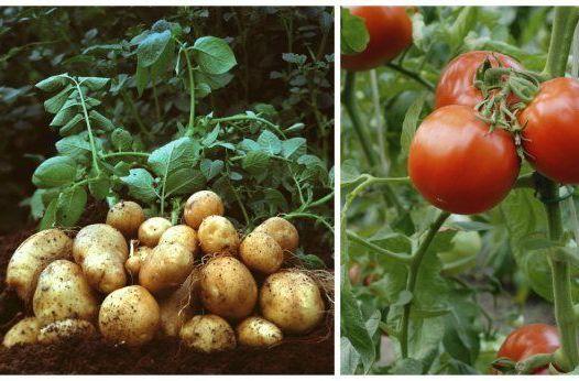 kakie-ovoshhi-nelzya-sazhat-ryadom-po-sosedstvu-foto-kartofel-i-tomaty-nelzya-sazhat-ryadom