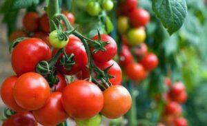 kakie-ovoshhi-nelzya-sazhat-ryadom-po-sosedstvu-foto-pomidory-i-morkov-luchshee-sochetanie
