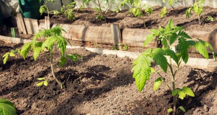 rassada-tomatov-pochemu-zhelteyut-skruchivayutsya-ili-sohnut-listya-ustraneniya-problem-foto-rassada-tomatov-v-teplitse
