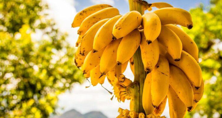 zametki-o-bananah-interesnye-i-zanimatelnye-fakty-o-populyarnom-frukte-banan-foto-banany-na-dereve...