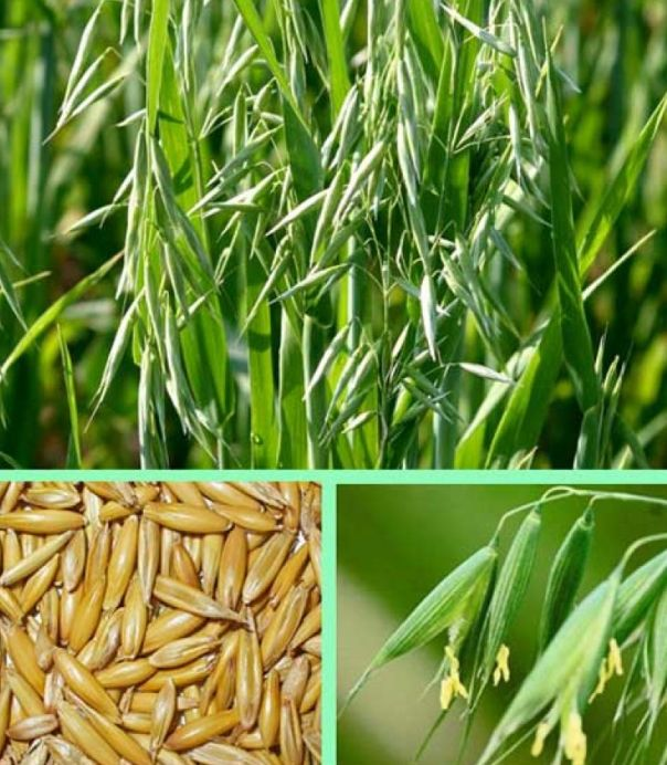 Top-10-rastenij-i-trav-kotorye-pomogayut-brosit-kurit-foto-oves-rastenie-semena-tsvetki-listya