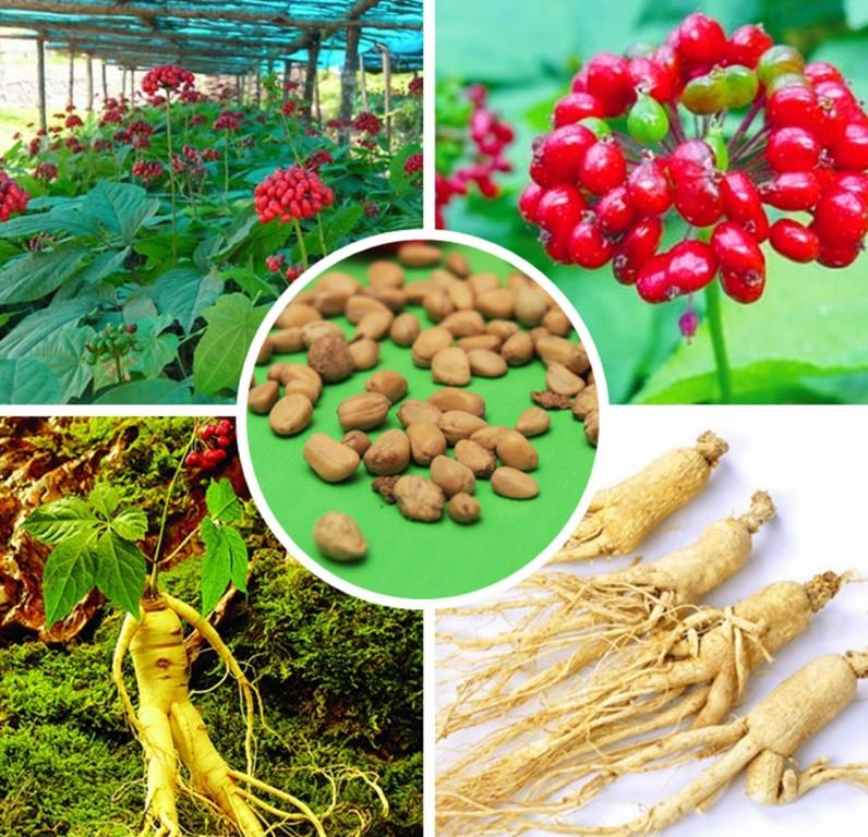 Top-10-rastenij-i-trav-kotorye-pomogayut-brosit-kurit-foto-zhenshen-rastenie-semena-korni