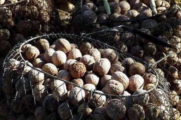 gretskie-orehi-pravila-sbora-i-hraneniya-urozhaya-foto-hranenie-gretskih-orehov-v-setkah