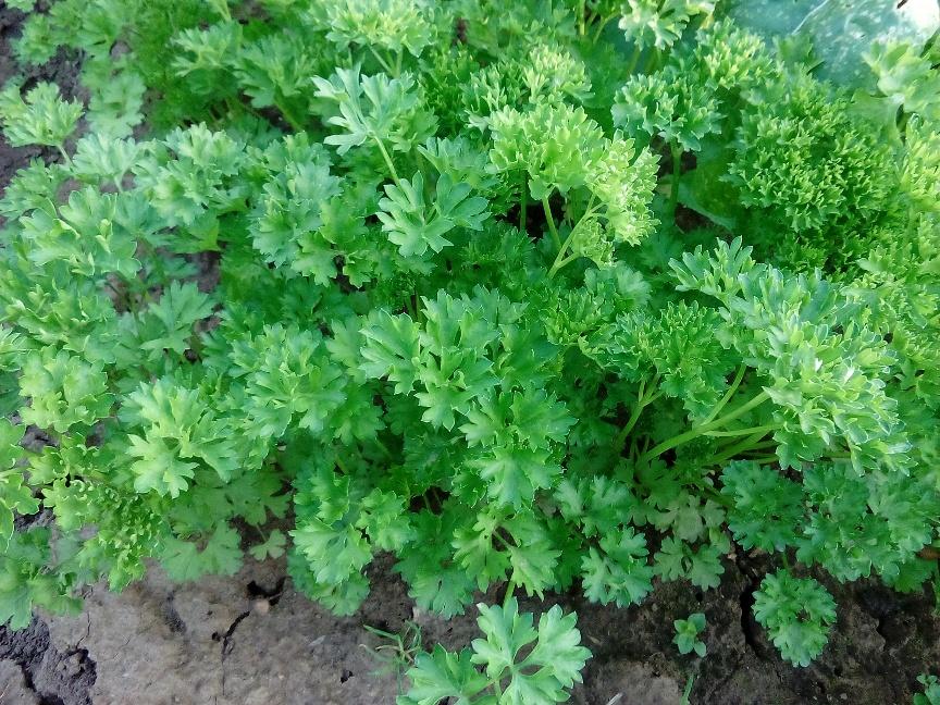 petrushka-poleznye-svojstva-zeleni-primenenie-i-protivopokazaniya-foto-vitaminnaya-aromatnaya-zelen