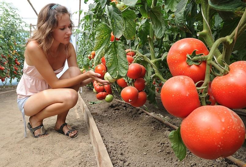zametki-o-samyh-grubyh-oshibkah-dopuskaemyh-pri-vyrashhivanii-tomatov-foto-devushka-v-teplitse-u-pomidor